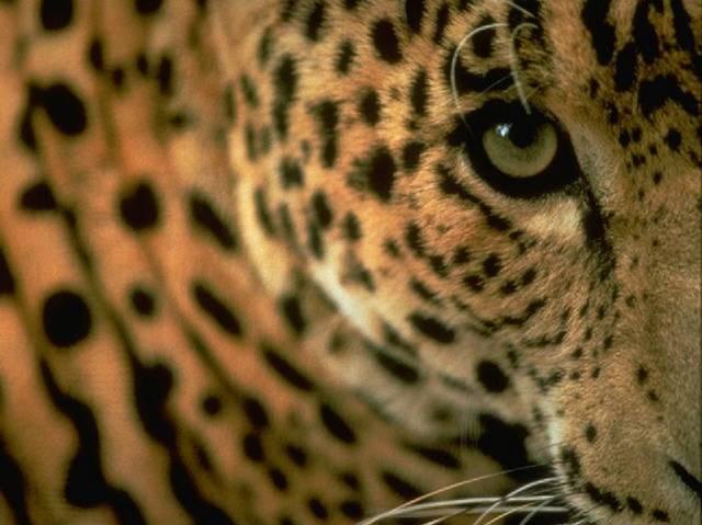 leopardo_mirada