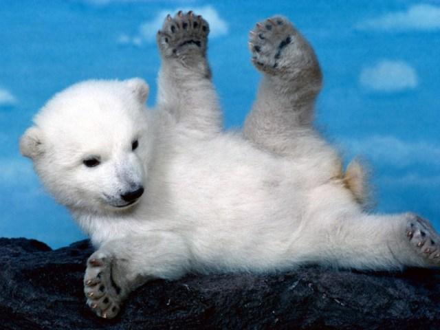 oso_polar_bebe