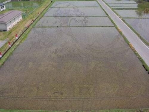 plantações de arroz no Japão 16