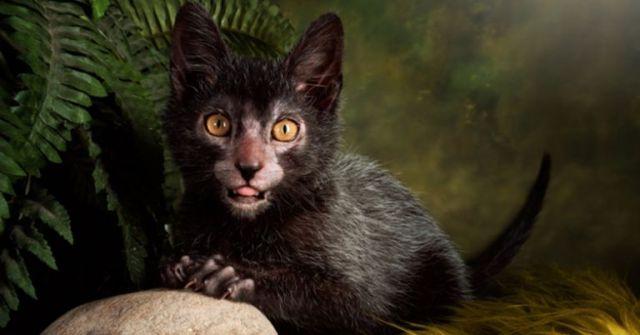 gato-lobisomem