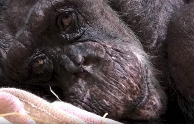 Mama chimpanzé