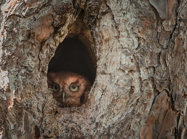 Camouflaged-Owls-Within-Trees-3