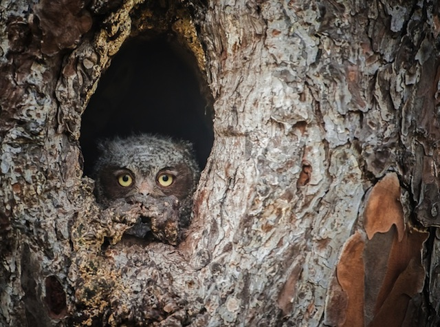 Camouflaged-Owls-Within-Trees-4