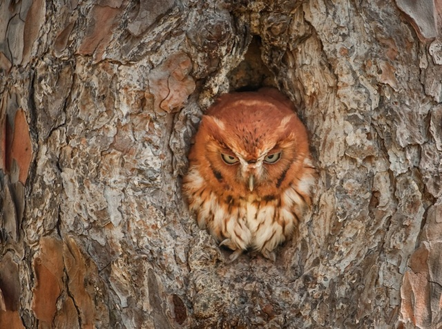 Camouflaged-Owls-Within-Trees-5
