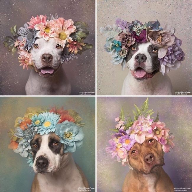 pit-bull-flower-power-sophie-gamand