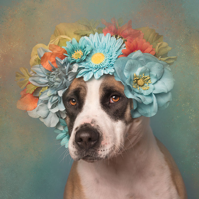 pit-bull-flower-power-sophie-gamand-11