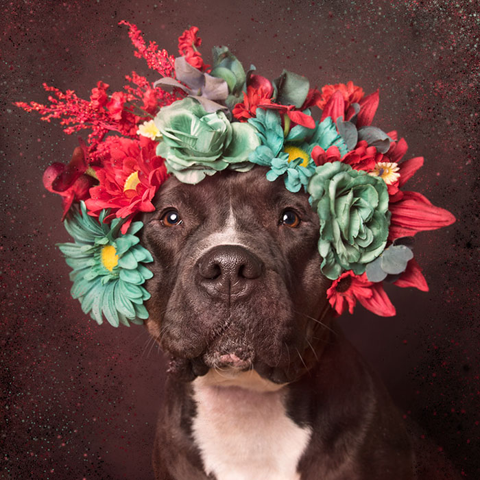 pit-bull-flower-power-sophie-gamand-12