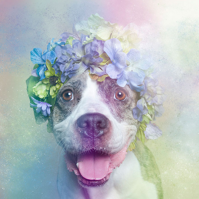 pit-bull-flower-power-sophie-gamand-13