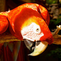 Creation Tidbits - The Macaws