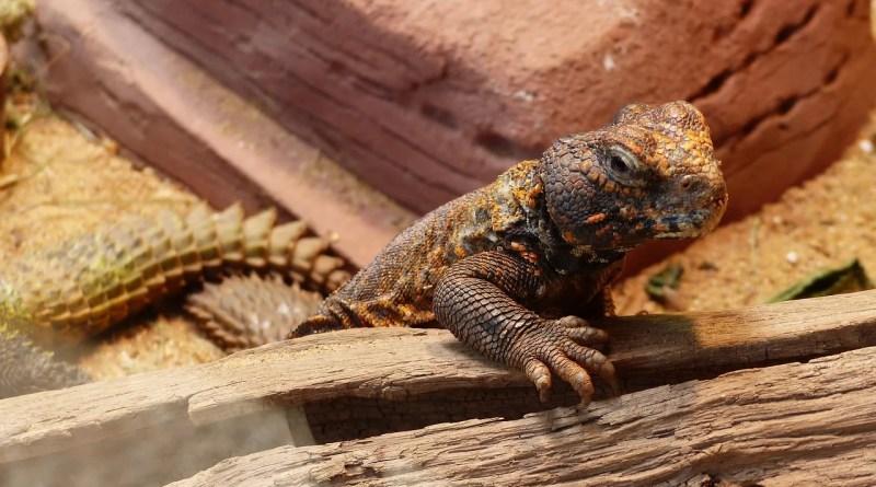 Lizard Nature Animal Reptile Wild  - Marijakes / Pixabay