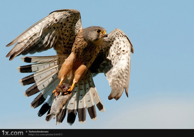 Kestrel and mouse..