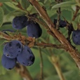 Blue velvet Honey Berry