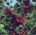 Captivator Gooseberry