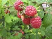 Dinkum Raspberry