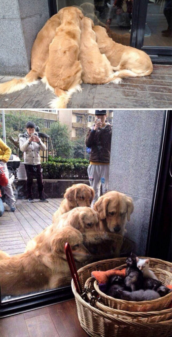 1. Look at this bunch of curious retrievers crowding around a basket of kittens. Their eyes show the wonder in them.