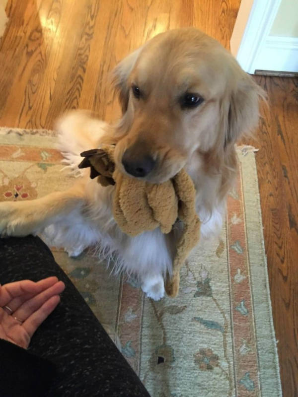 16. Now, wouldn't you be happy seeing a cute little retriever waiting to greet you with a gift, every single time Give him some boops.