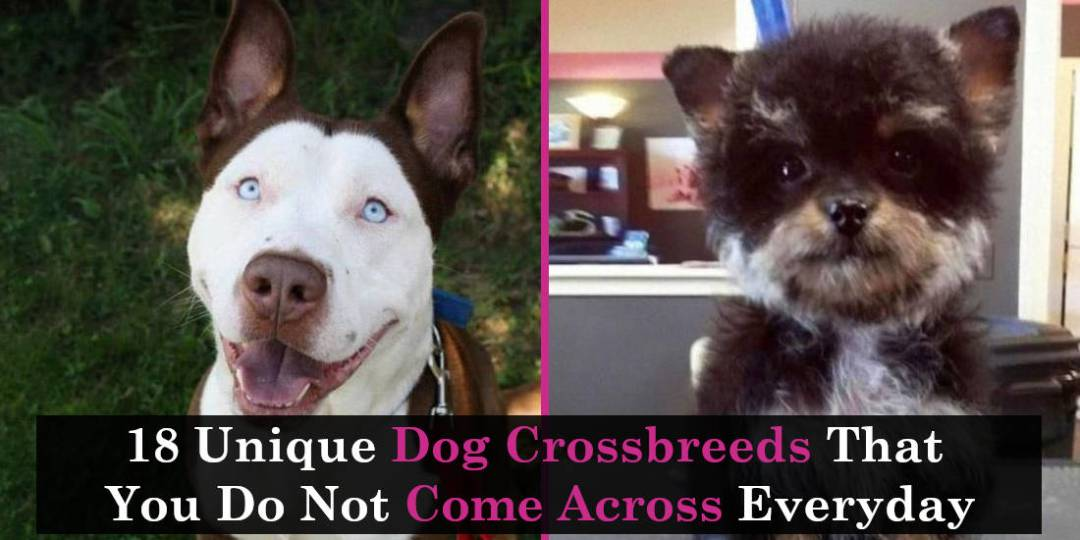 18 Unique Dog Crossbreeds That You Do Not Come Across Everyday