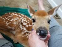 Amscolies Deer - 2