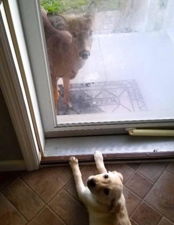 Amscolies Deer - 3