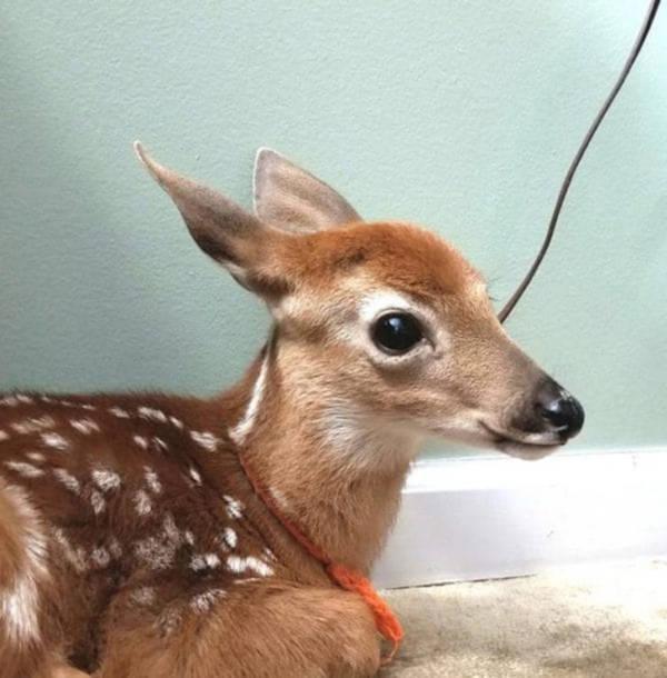 Amscolies Deer - 6