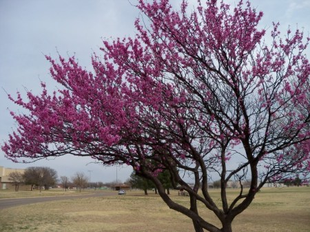 Redbud & Pear Blossoms 004