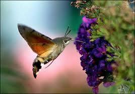 LRhummingbird moth