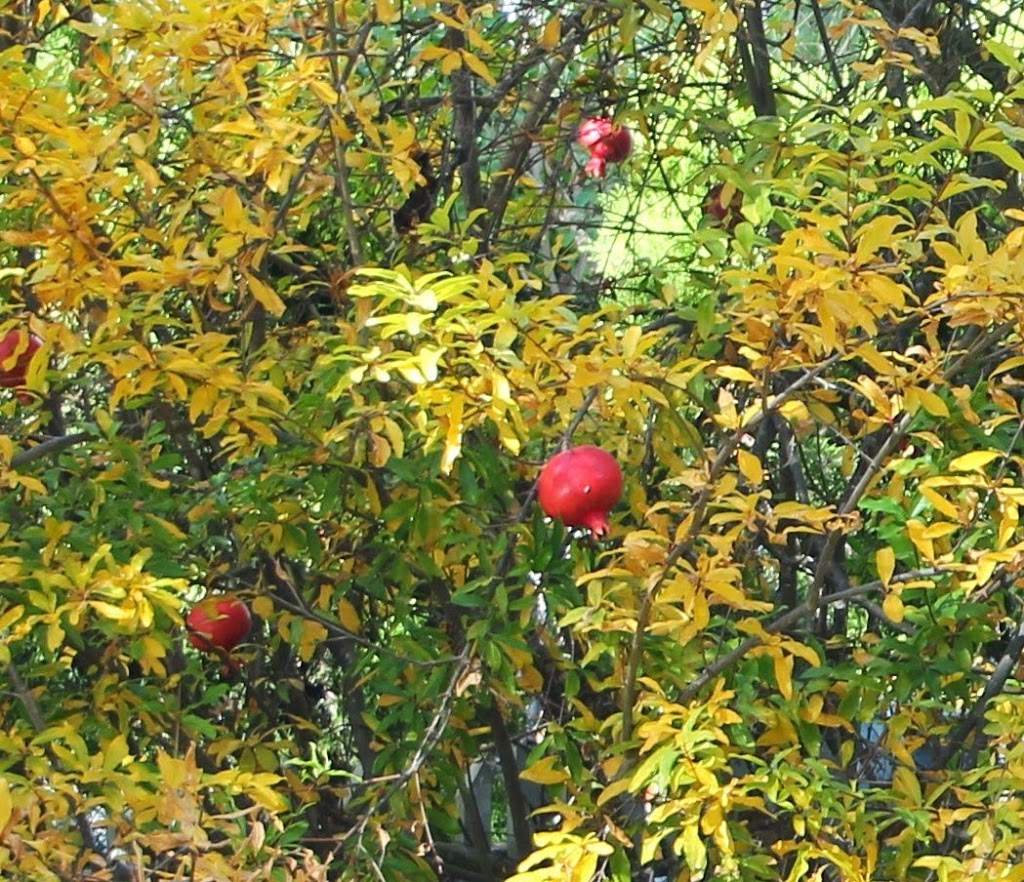 pomegranate-tree_blog-4[1]