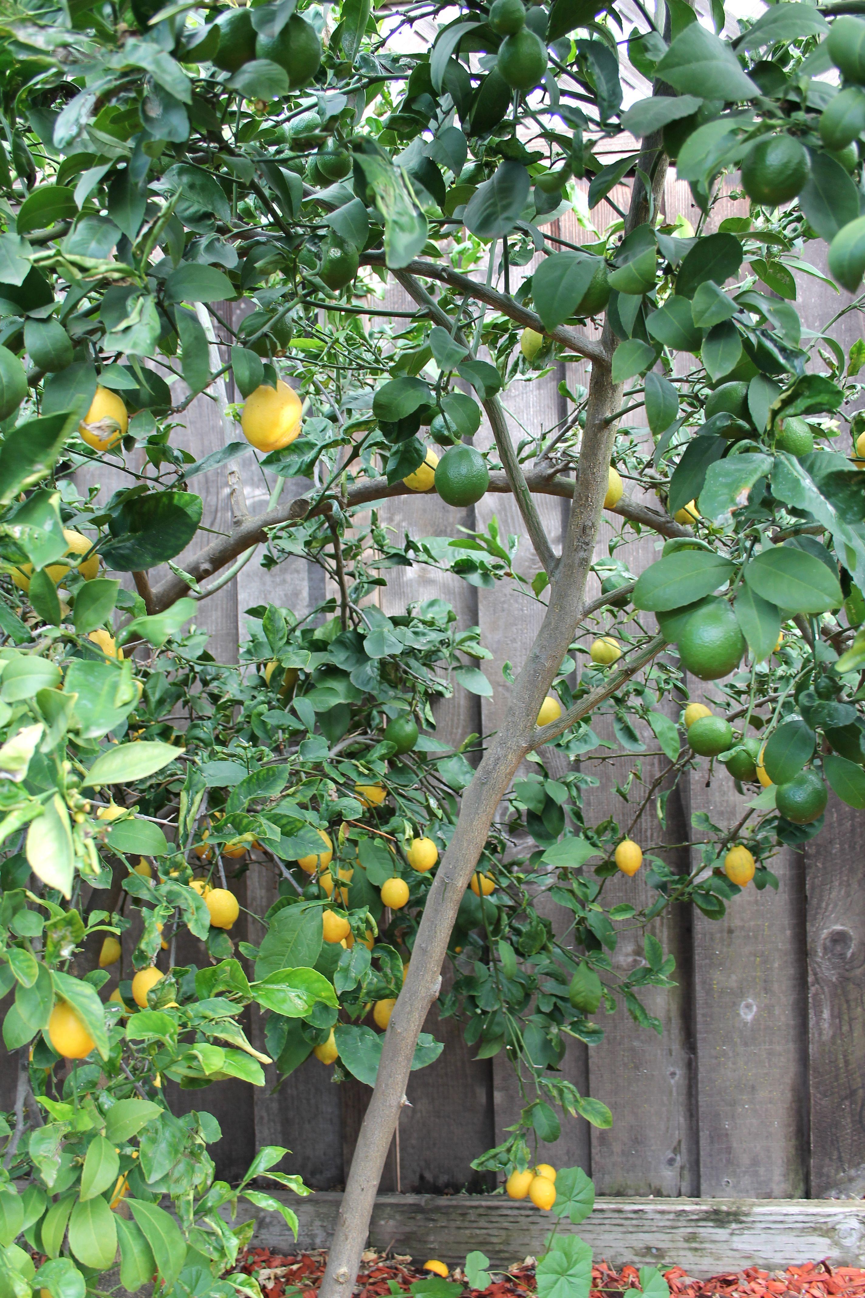 lemon tree_blog