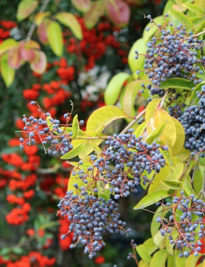 chocolate-mousse-california-elderberry