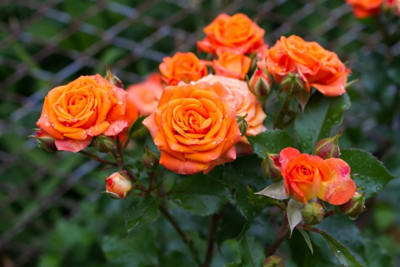 Designing A Rose Garden How To Create A Rose Splendor At Home