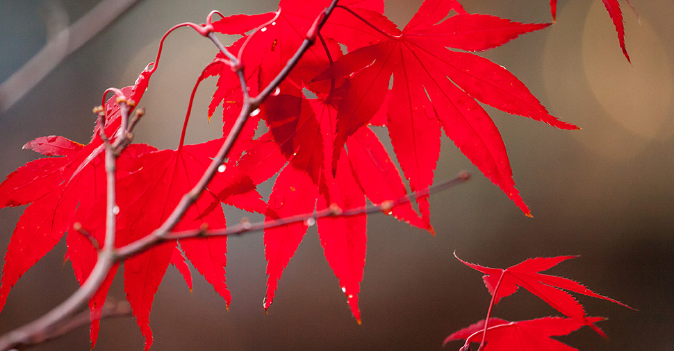 Scarlet red maple leaves by Richard Mayer :: Inspired Spaces