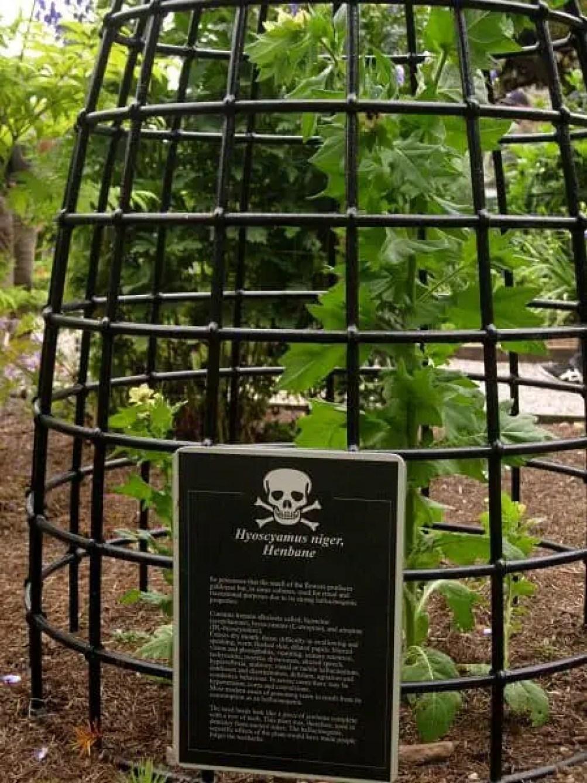 henbane poisonous