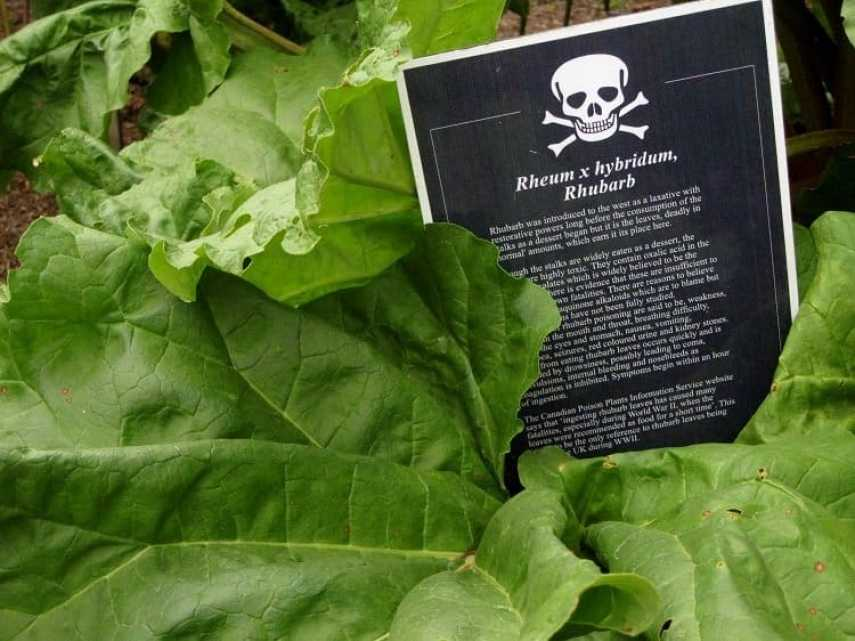 rhubarb leaves poisonous