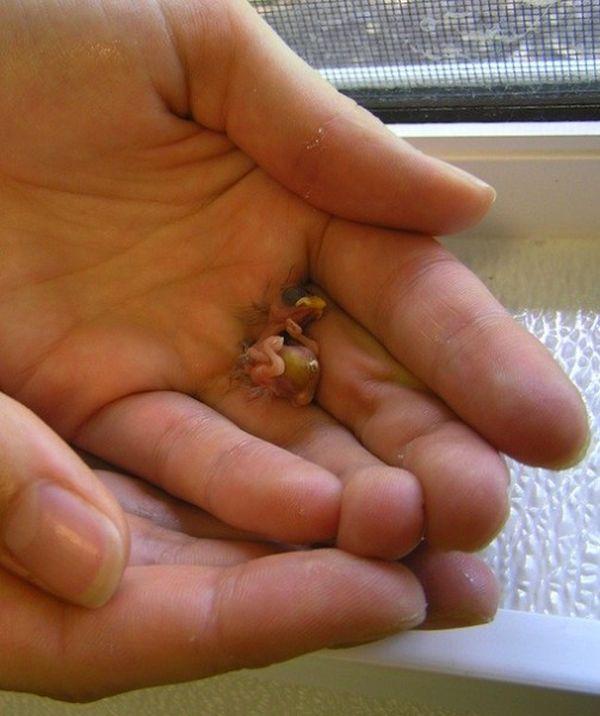 Akepa Chick – the smallest bird