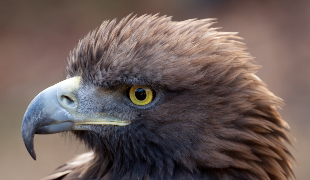 aigle royal description complete de l