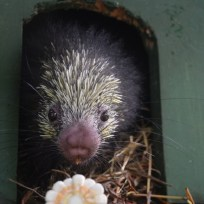 Mexican Porcupine