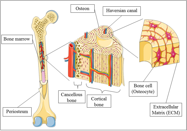 Advances In Bone Tissue Engineering