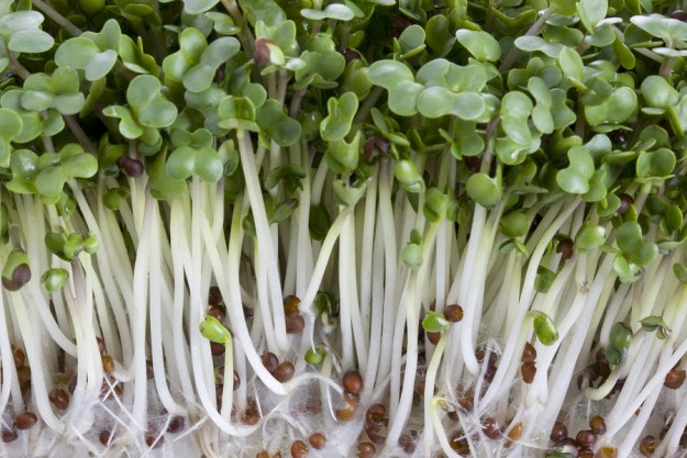 Image result for broccoli sprouts