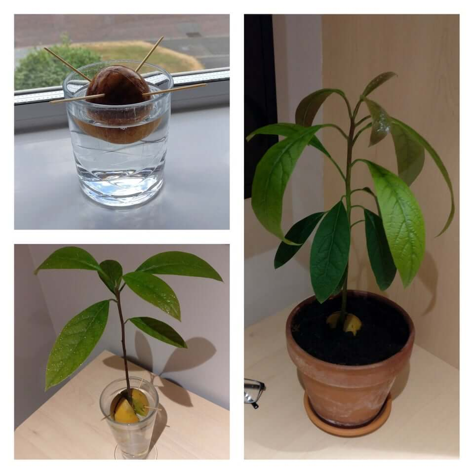 Here S How To Grow Your Own Avocado Tree From An Avocado Pit