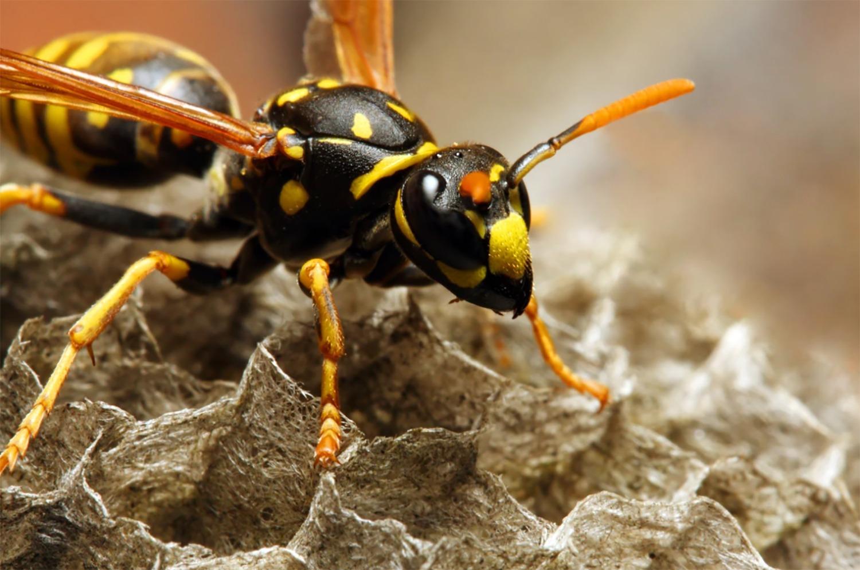 Scientists Create Bacteria-Killing Molecules From Wasp Venom