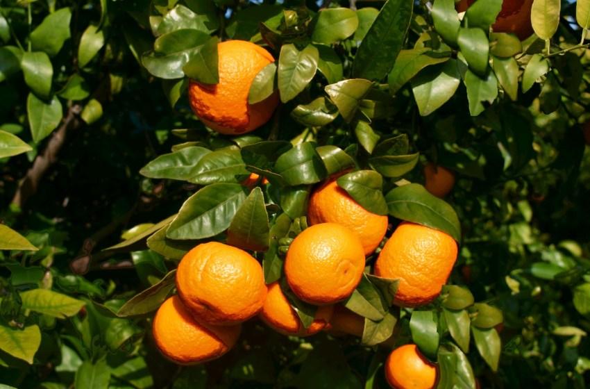 Cifras récord en la última campaña de la mandarina Orri, incrementando un 54% sus ventas