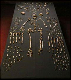 Homo_naledi_skeletal_specimens