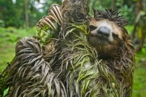 three-toed-sloth-wet-003