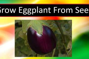 How To Grow Eggplant From Seed – (TIPS AND TRICKS)