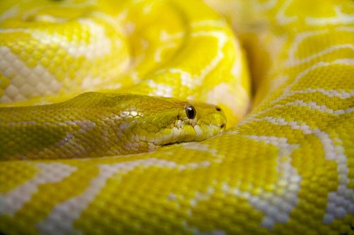 yellow python snake