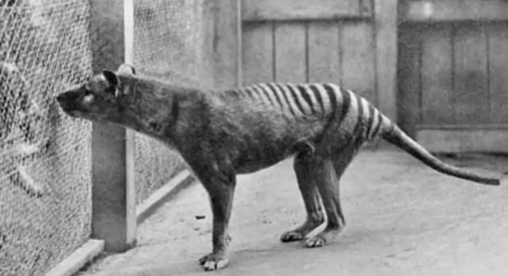 tasmanian tiger still alive