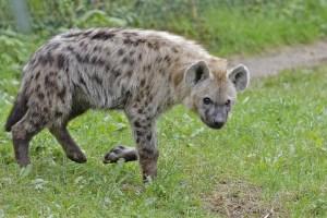 female hyena