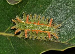 stinging caterpillar