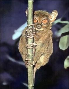tarsier facts