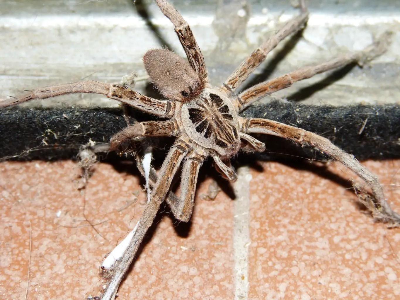 Wolf Spider Facts | Wolf Spiders | Bite | InterestingFacts.org